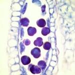 Sidecar Pollen Tetrads